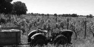 vineyard3bw