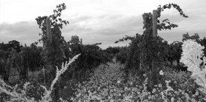 vineyardbw