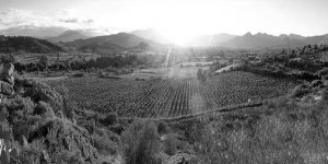 vineyardsbw